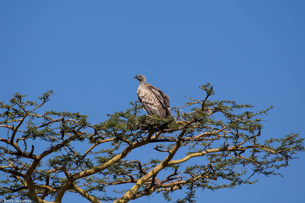 african white backed vulture in serengeti