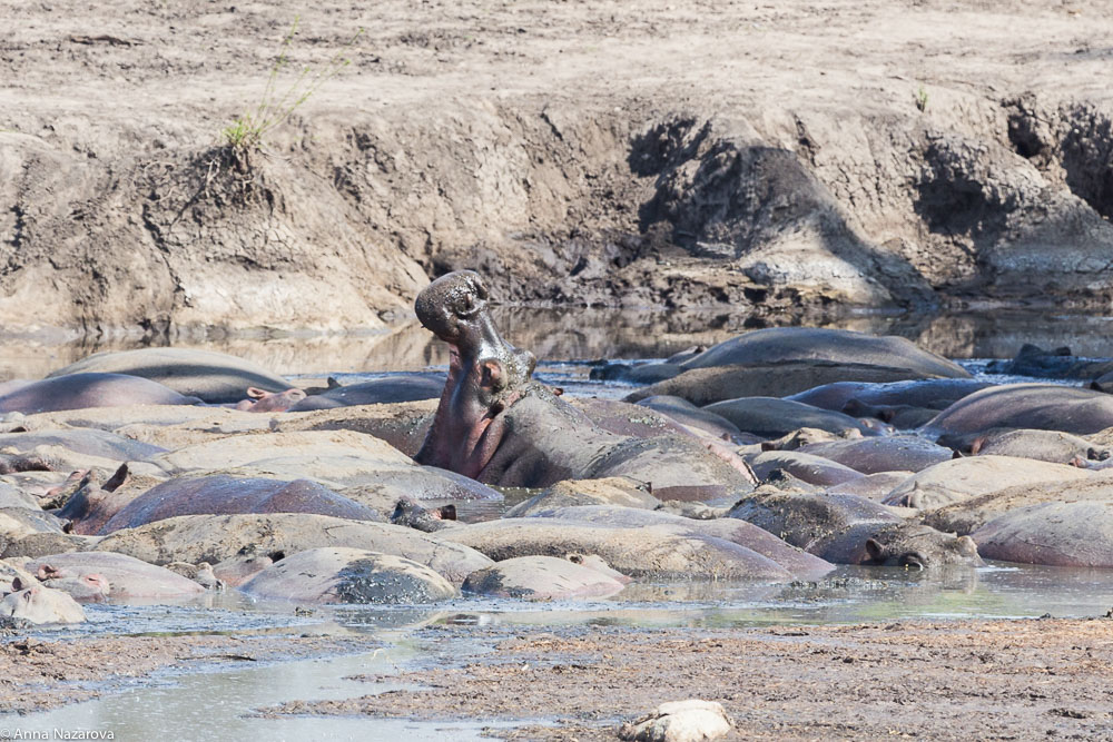 hippos are having some nap in serengeti