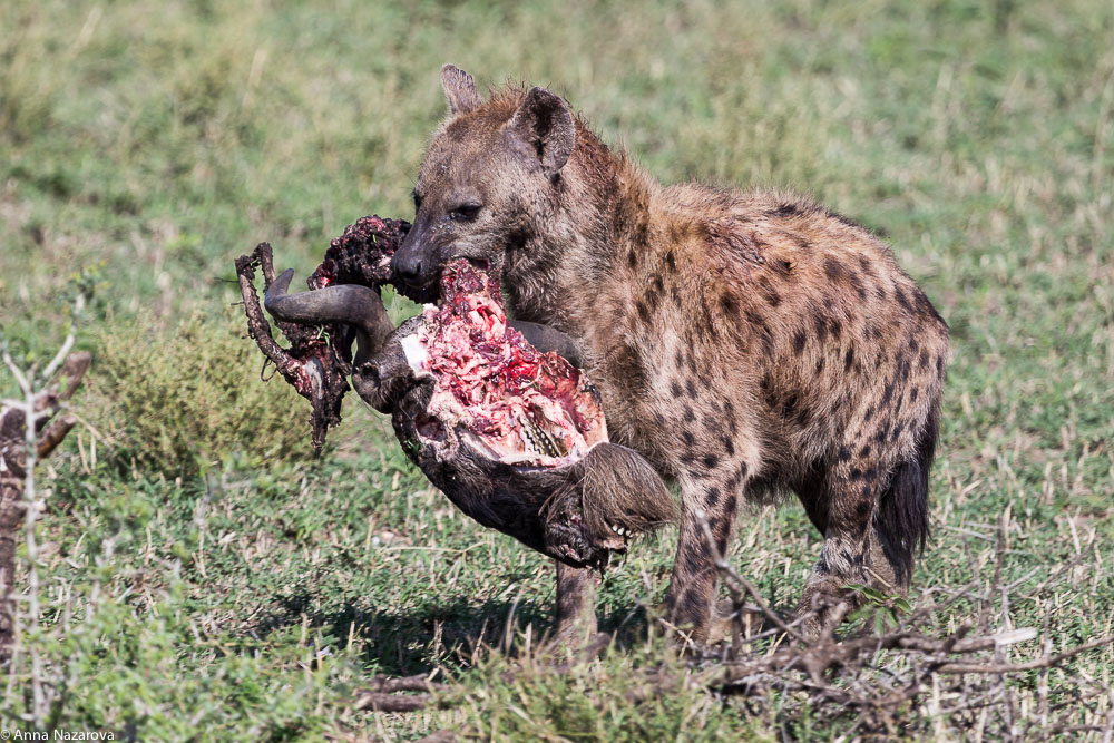 spotted hyena with a head of wildebeest in serengeti