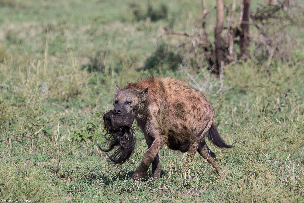 spotted hyena with a tail of wildebeest in serengeti