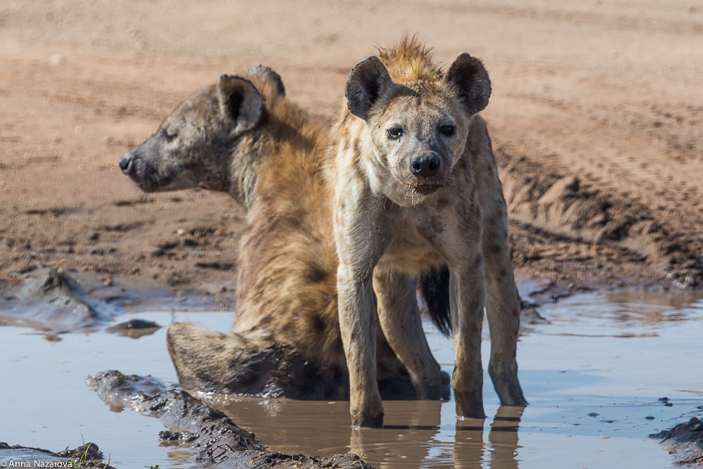 hyenas taking bath in serengeti