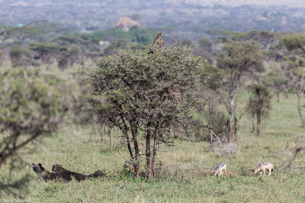 landscape with hyenas and jackals in serengeti