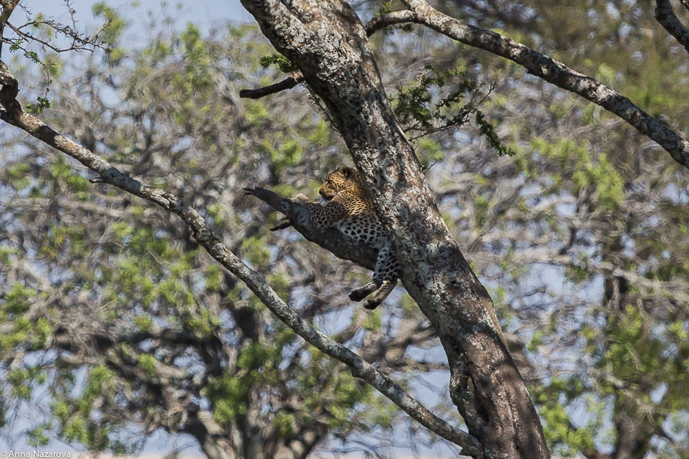 leopard in the tree in serengeti