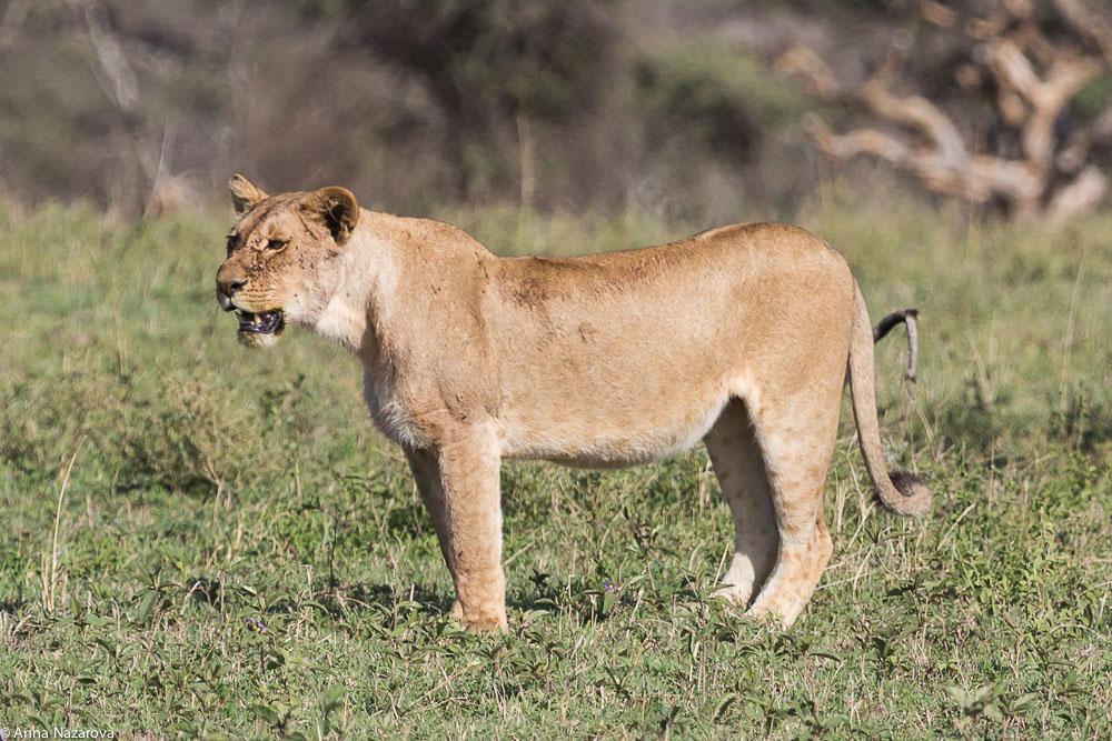 lioness central serengeti