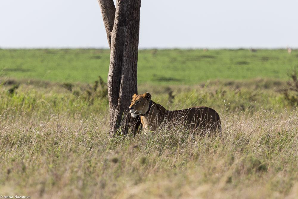 lioness landscape serengeti