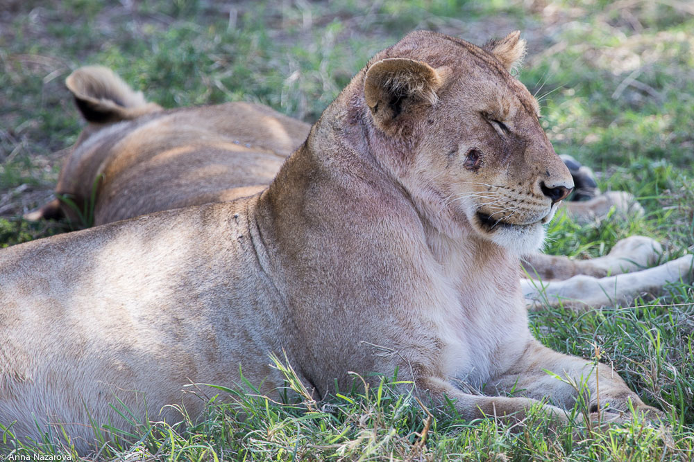 a lioness with a wound in her cheek in serengeti