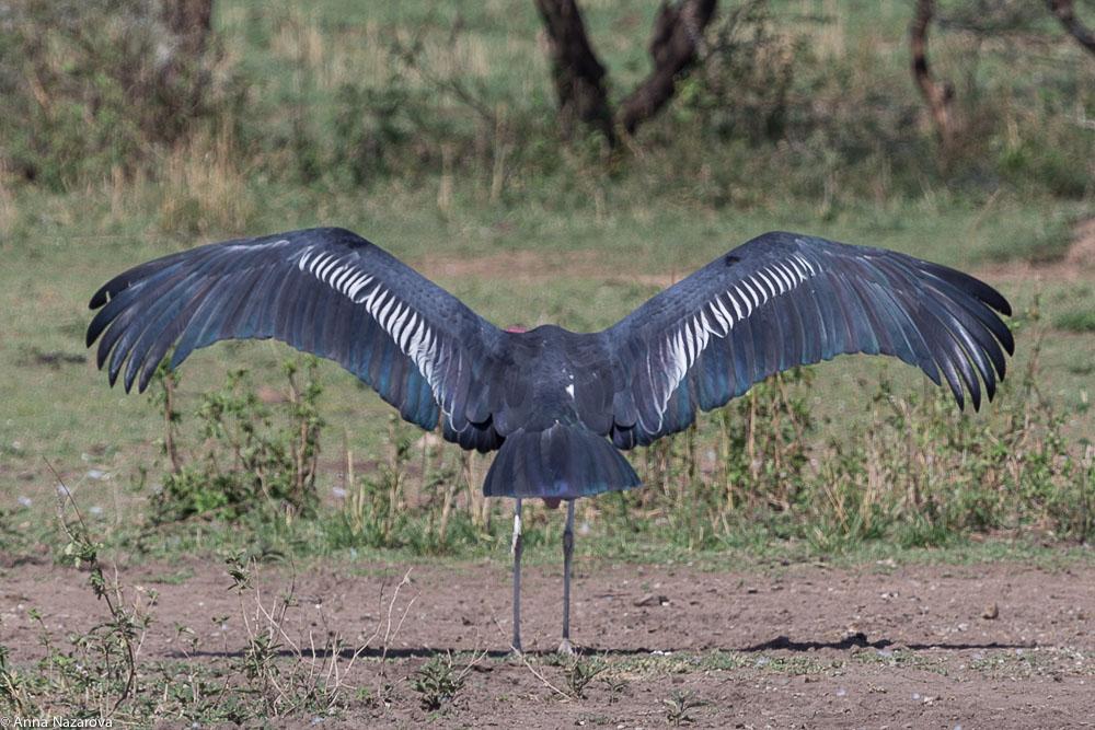 marabou stork in serengeti