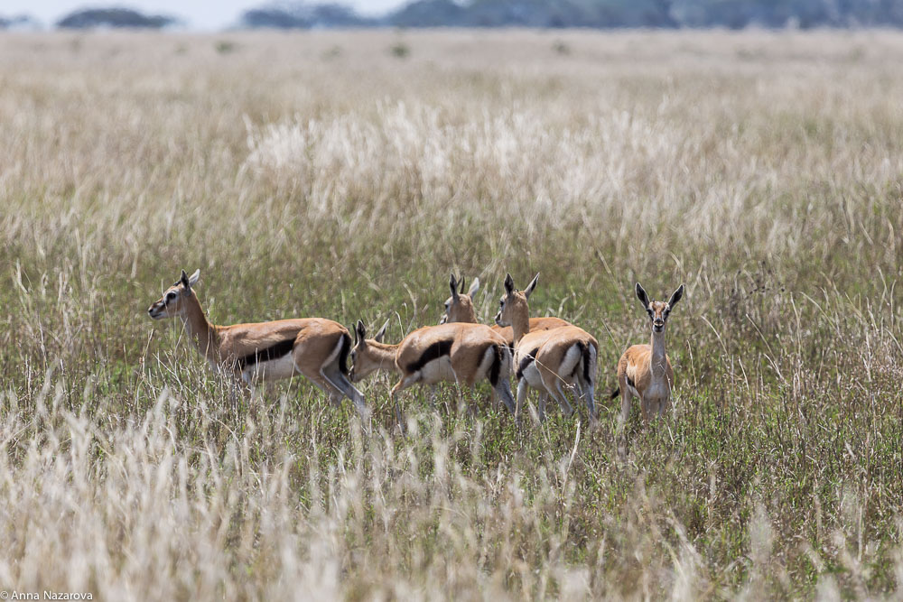 thomsons gazelles in serengeti