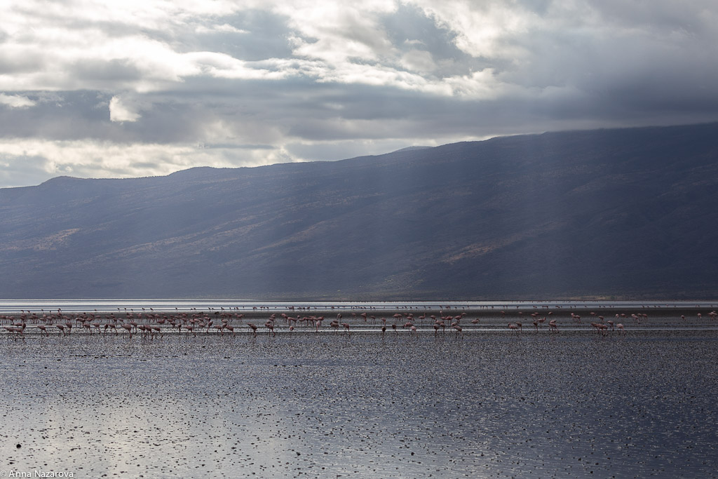 Pink Flamingos in Lake Natron