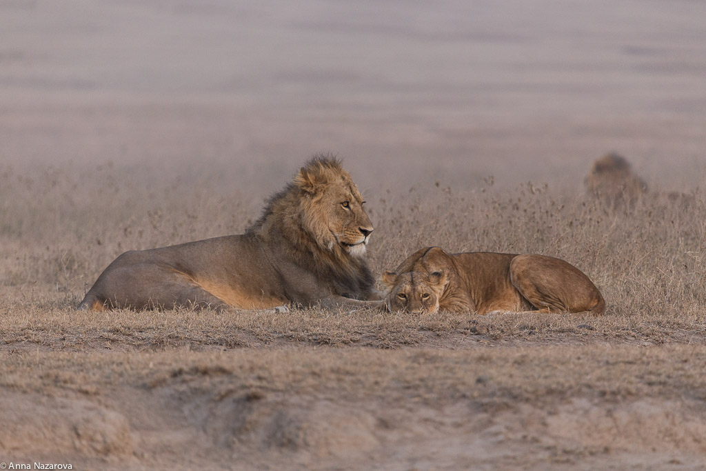 Lions before mating, Ngorongoro crater