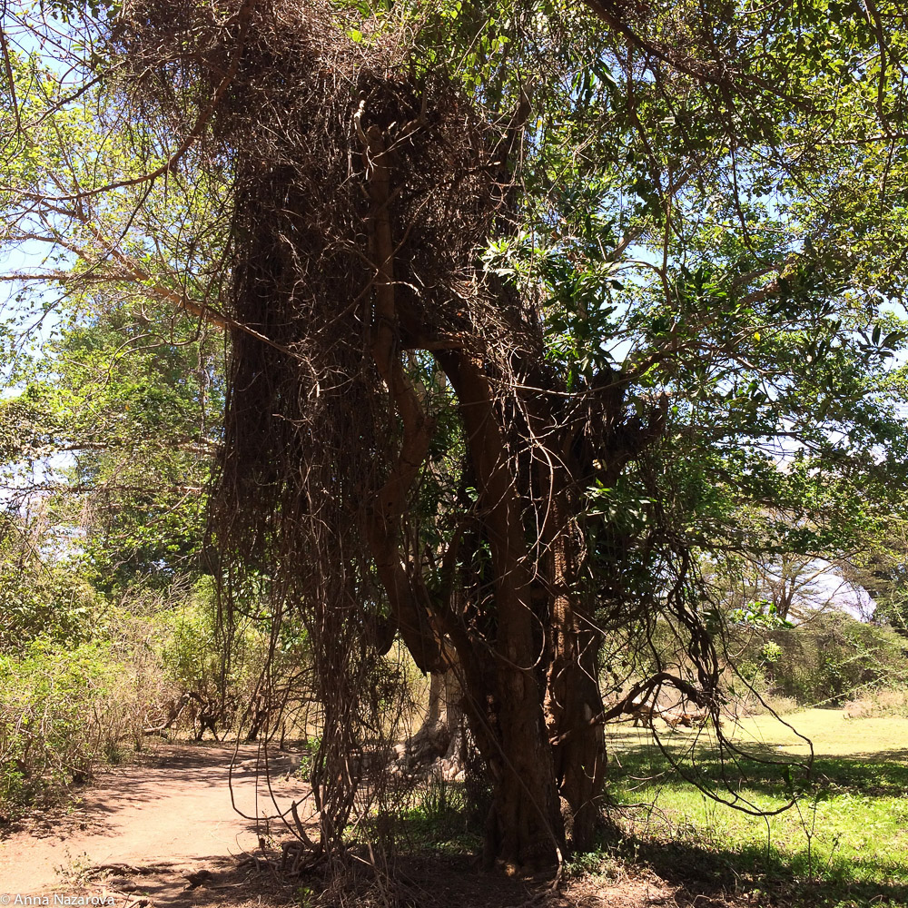 Lake Eyasi camp site tree