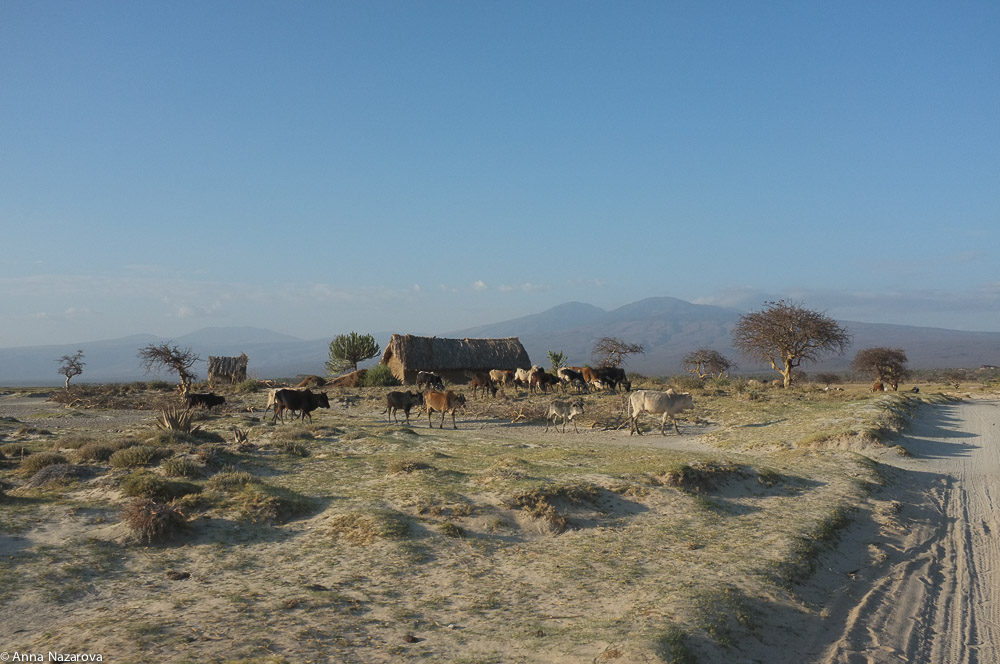 Cow landscape at Lake Eyasi