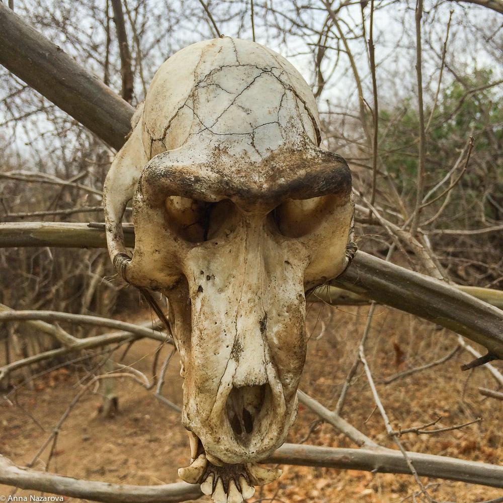 baboon's skull hadza family lake Eyasi