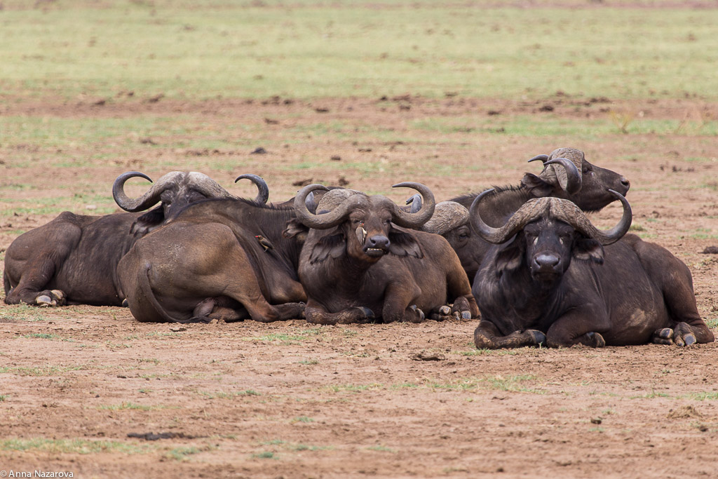 African buffalos in Lake Manyara
