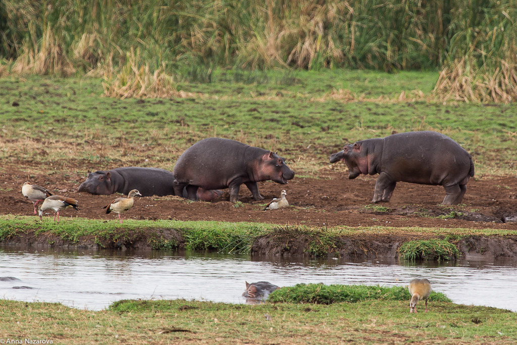 Playing hippos in Lake Manyara