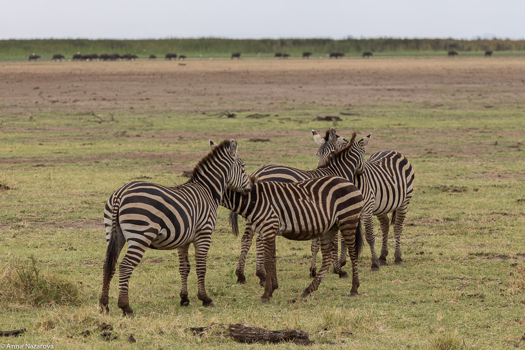 Hugging zebras in Lake Manyara