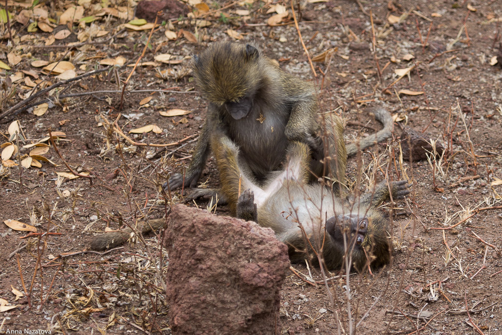 Playing baboons in Lake Manyara