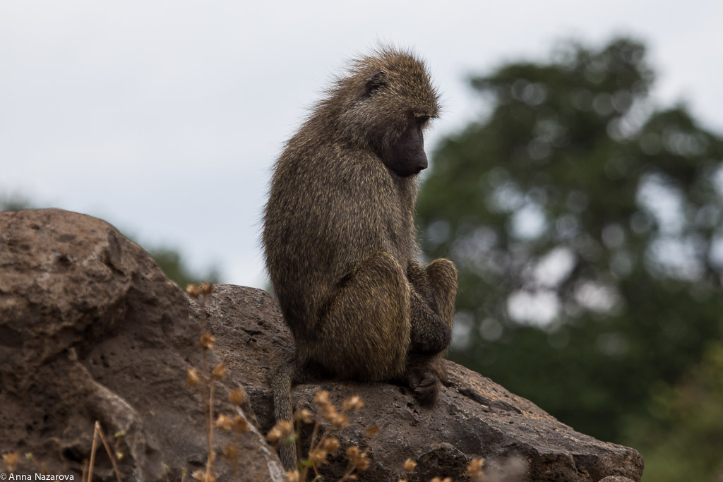 Sad mother baboon in Lake Manyara