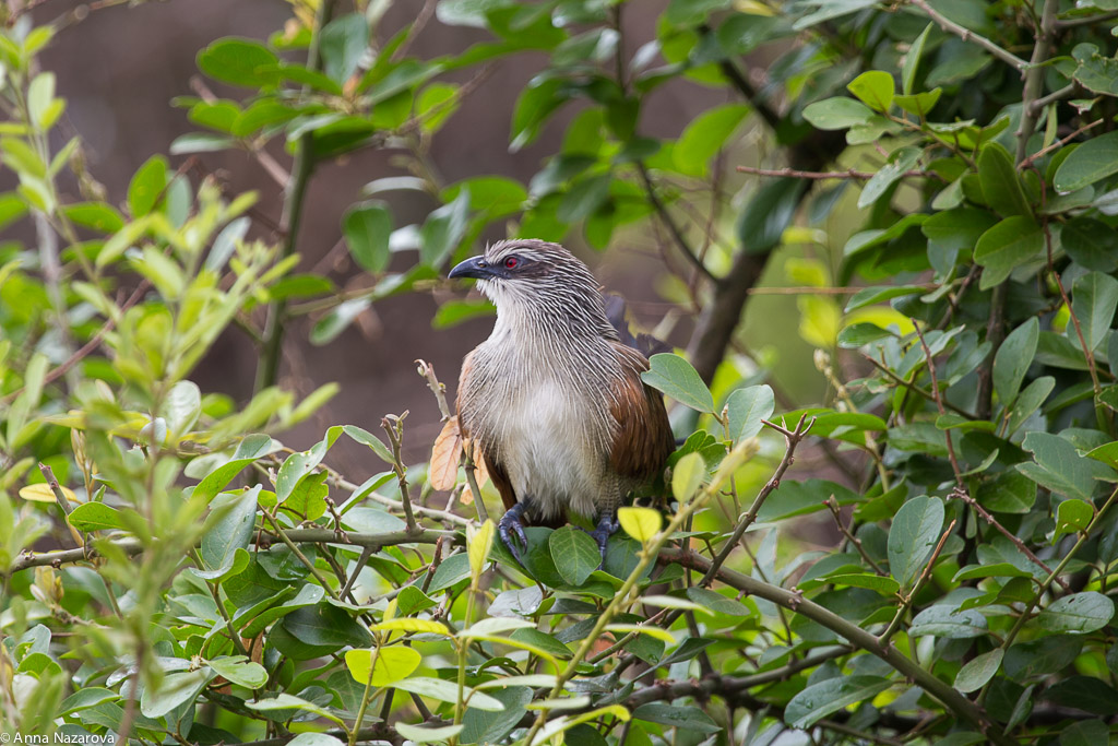 White Browed Coucal in Lake Manyara