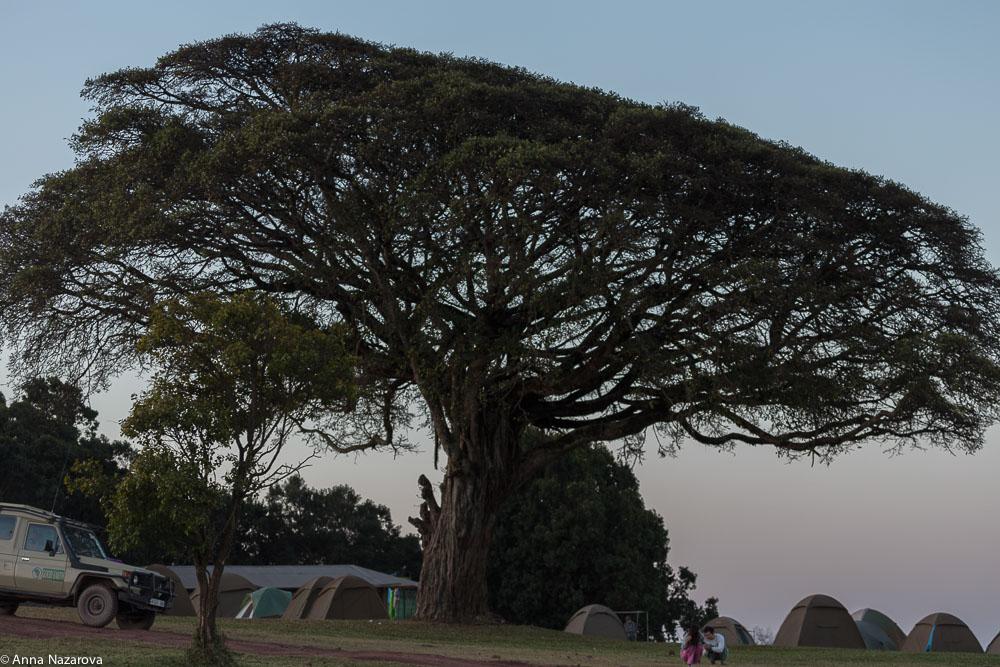 big baobab tree at the Ngorongoro campsite
