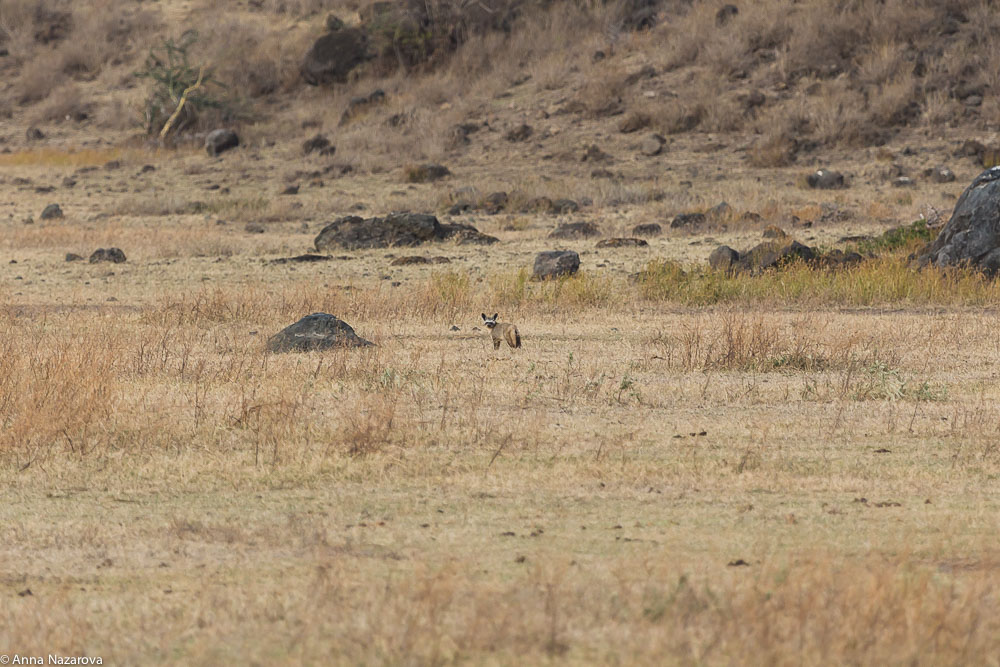 bat-eared fox landscape at Ngorongoro area