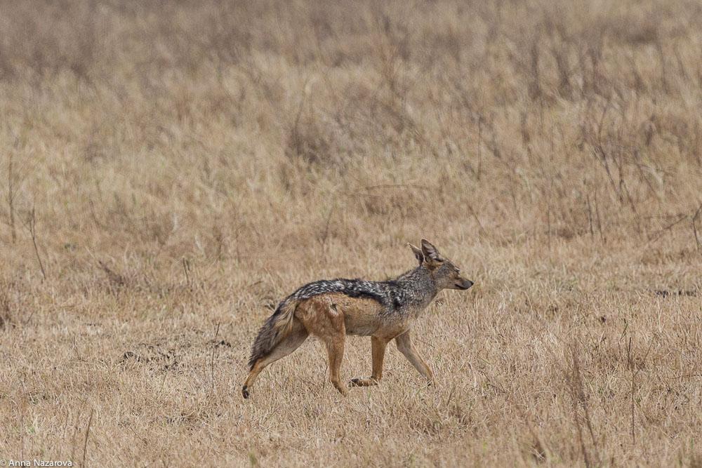 black-backed jackal in Ngorongoro