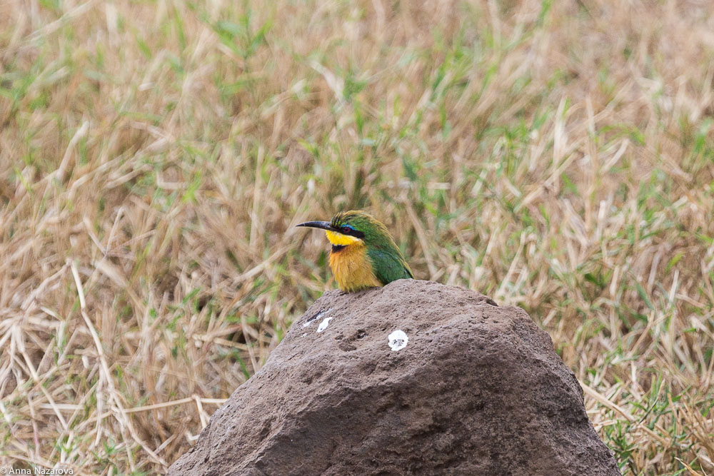 cinnamon-chested bee-eater in Ngorongoro