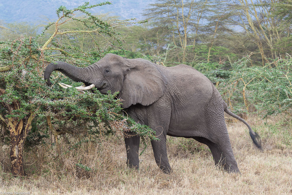 Male elephant in Ngorongoro