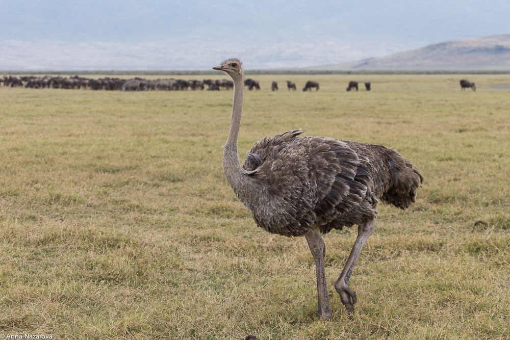 common female ostrich in Ngorongoro