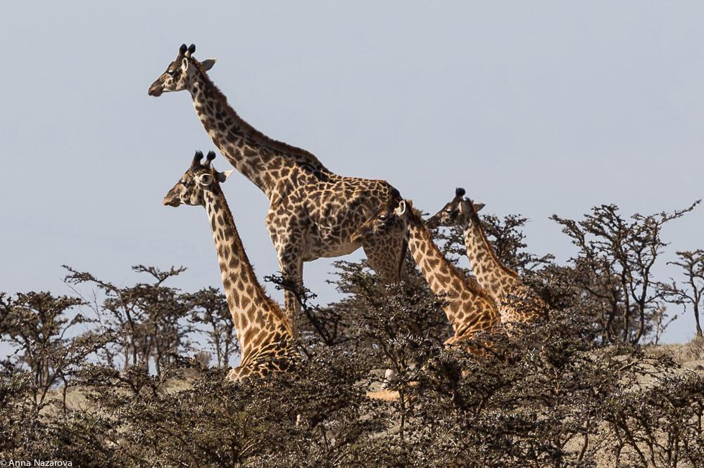 giraffes on the way to Ngorngoro crater