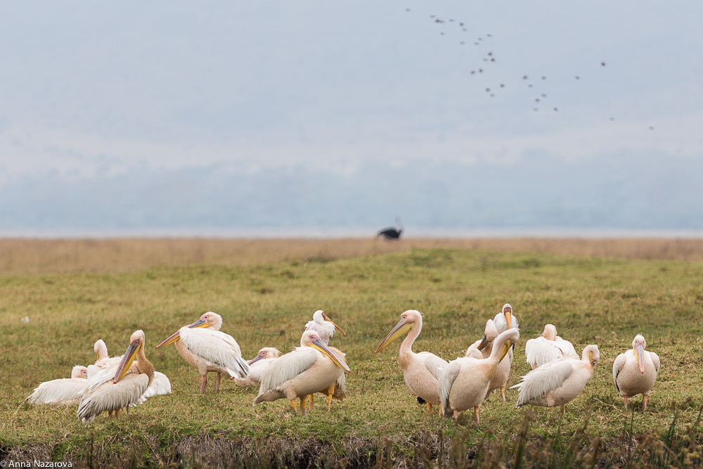 great white pelicans in Ngorongoro