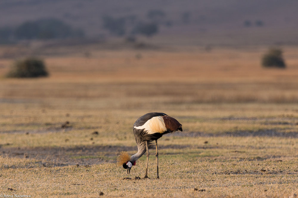 grey-crowned crane at Ngorongoro crater