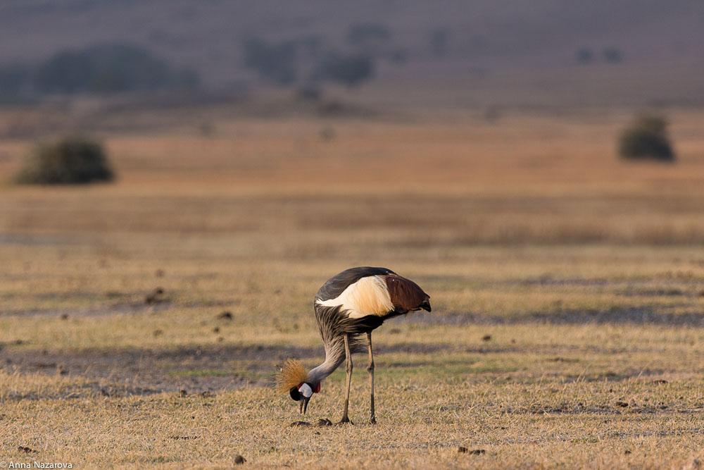 grey-crowned crane at Ngorongoro crater