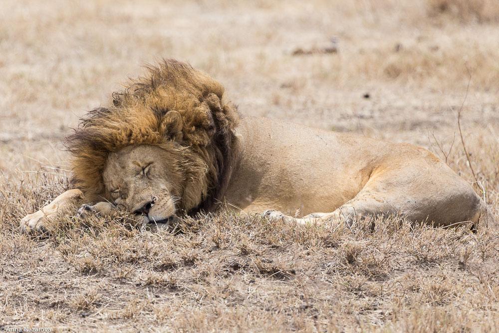 Sleeping lion in Ngorongoro