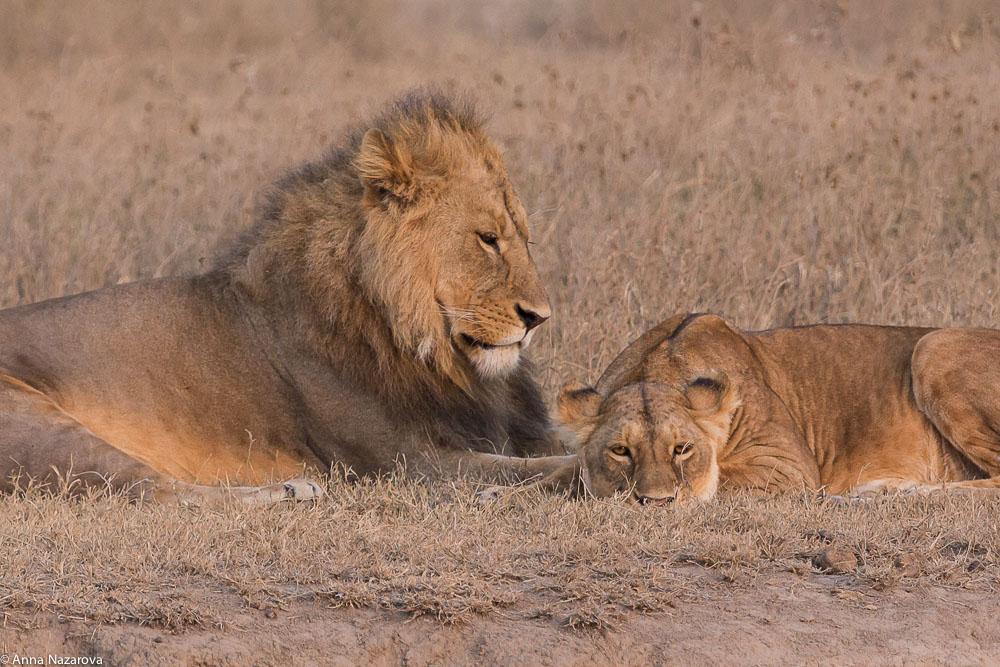 mating lions at dawn at Ngorongoro crater