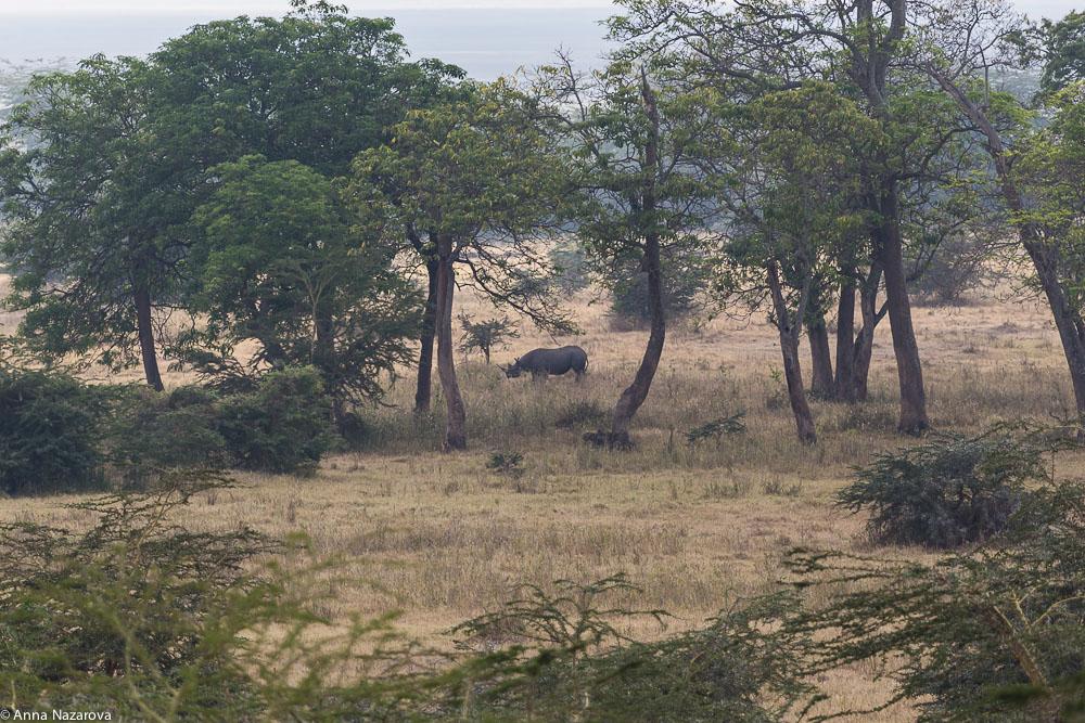 Rhino in Ngorongoro