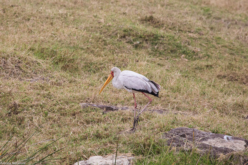 yellow-billed stork in Ngorongoro area