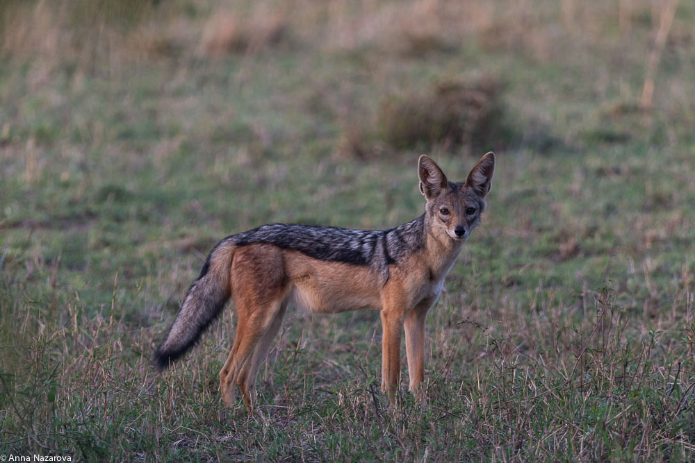 black-backed jackal northern serengeti