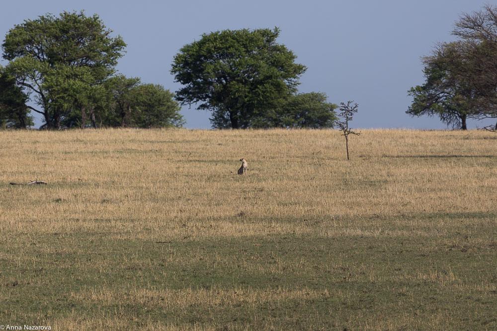 cheetah in the field northern serengeti