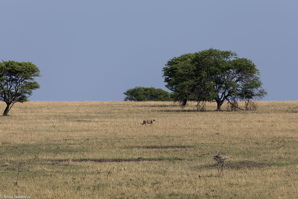 walking cheetah northern serengeti