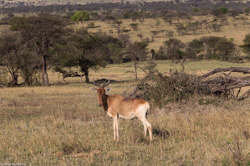 cokes hartebeest northern serengeti