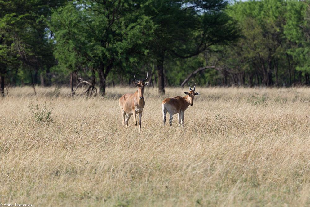 group of cokes hartebeests northern serengeti