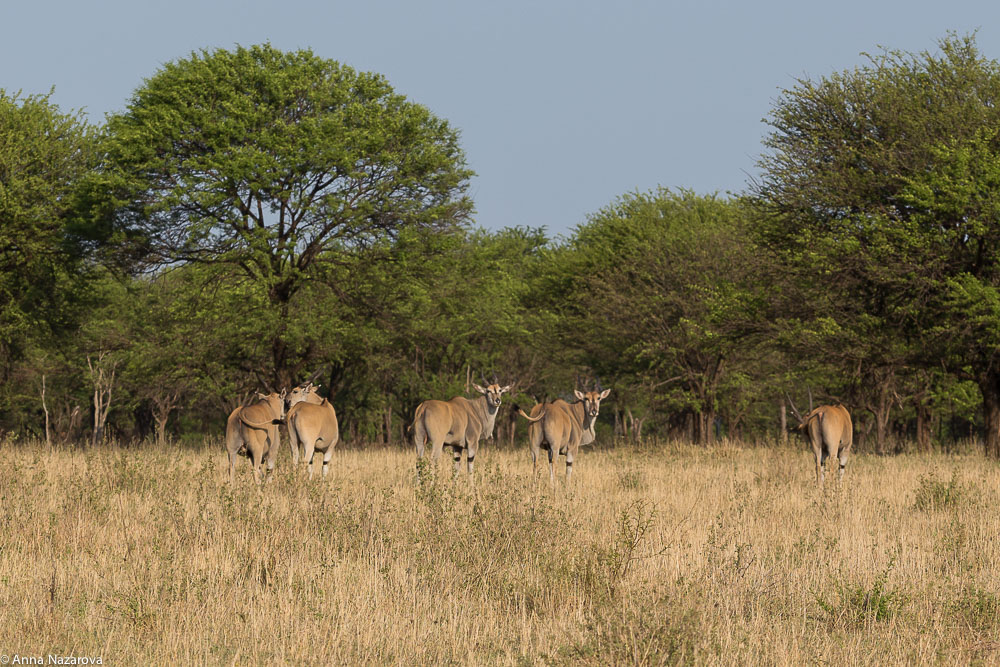 eland antelope northern serengeti
