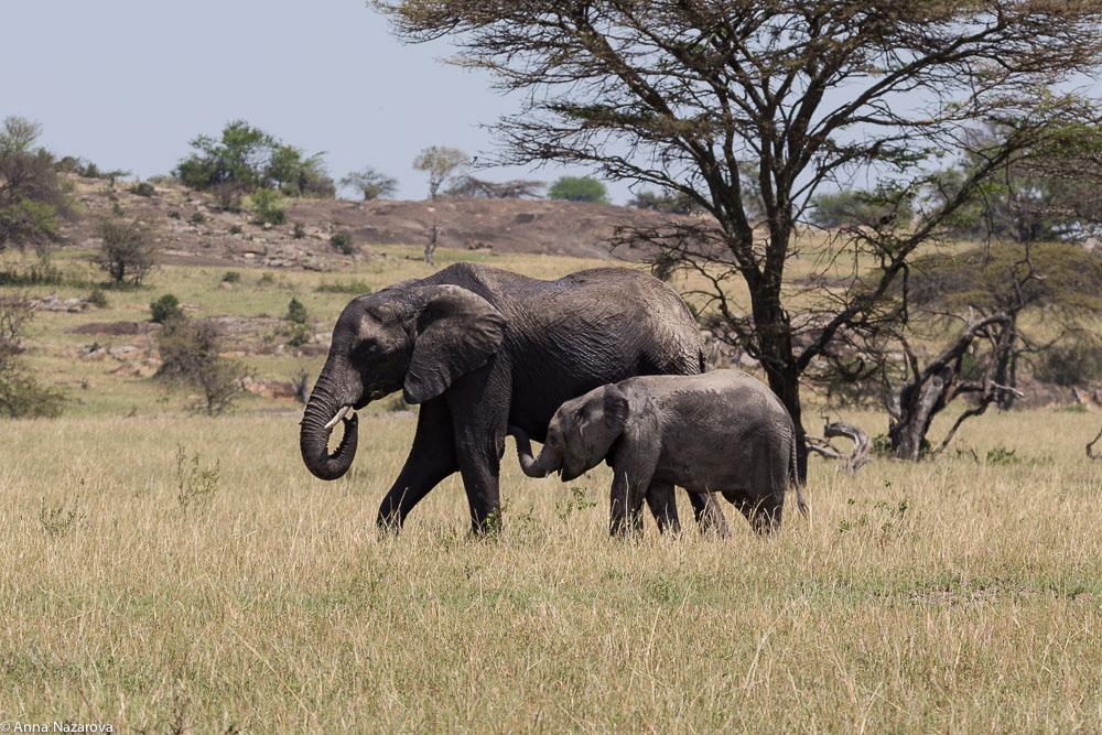 elephants northern serengeti