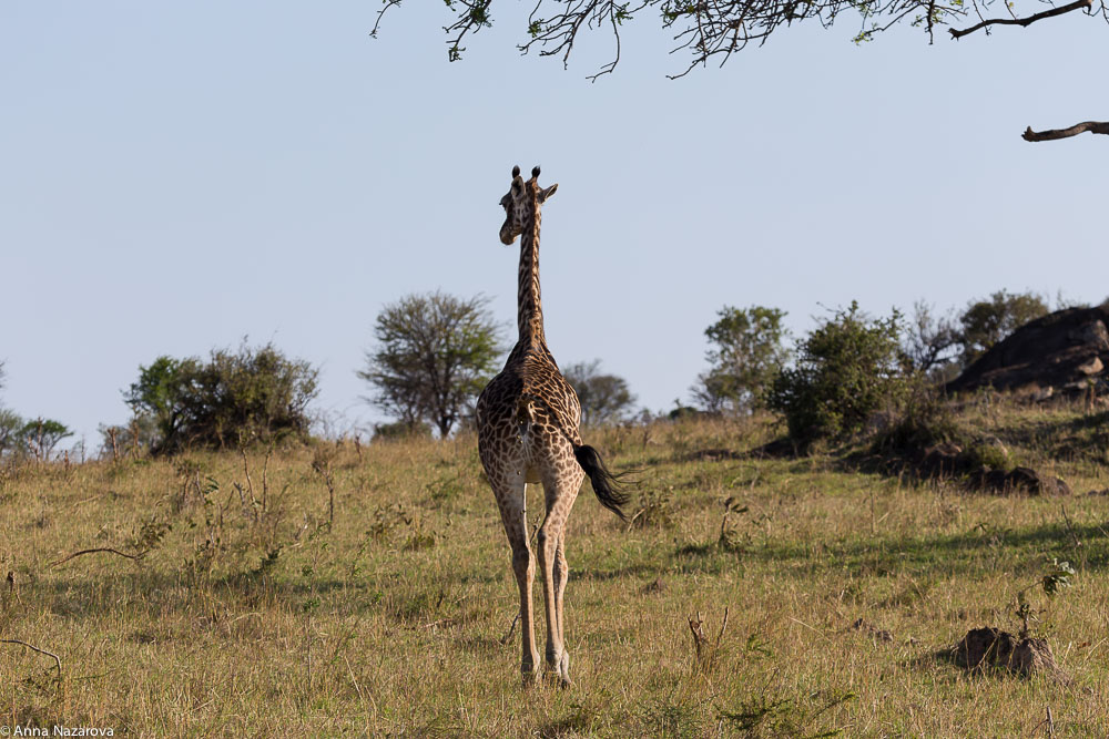 giraffe northern serengeti
