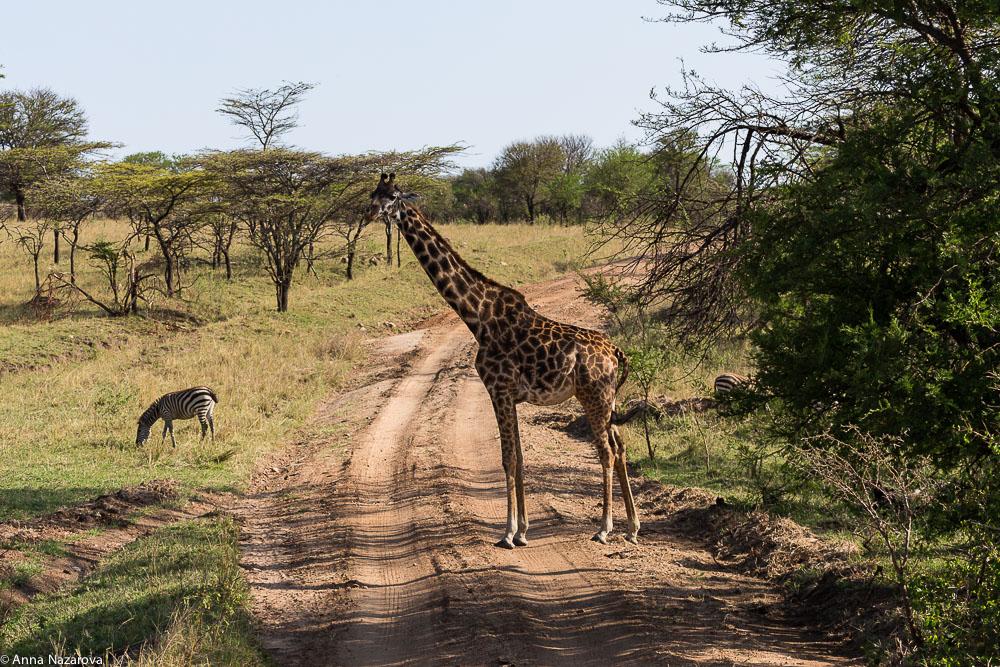 giraffe northern serengeti