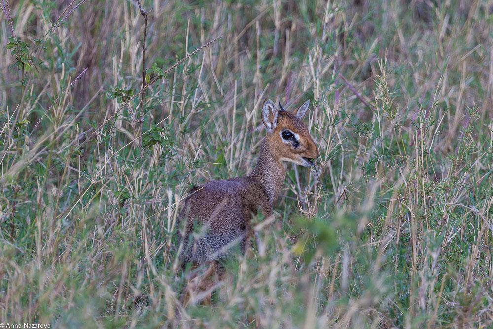 kirk's dik dik northern serengeti