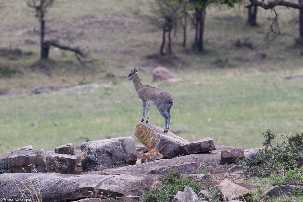 klipspringer northern serengeti