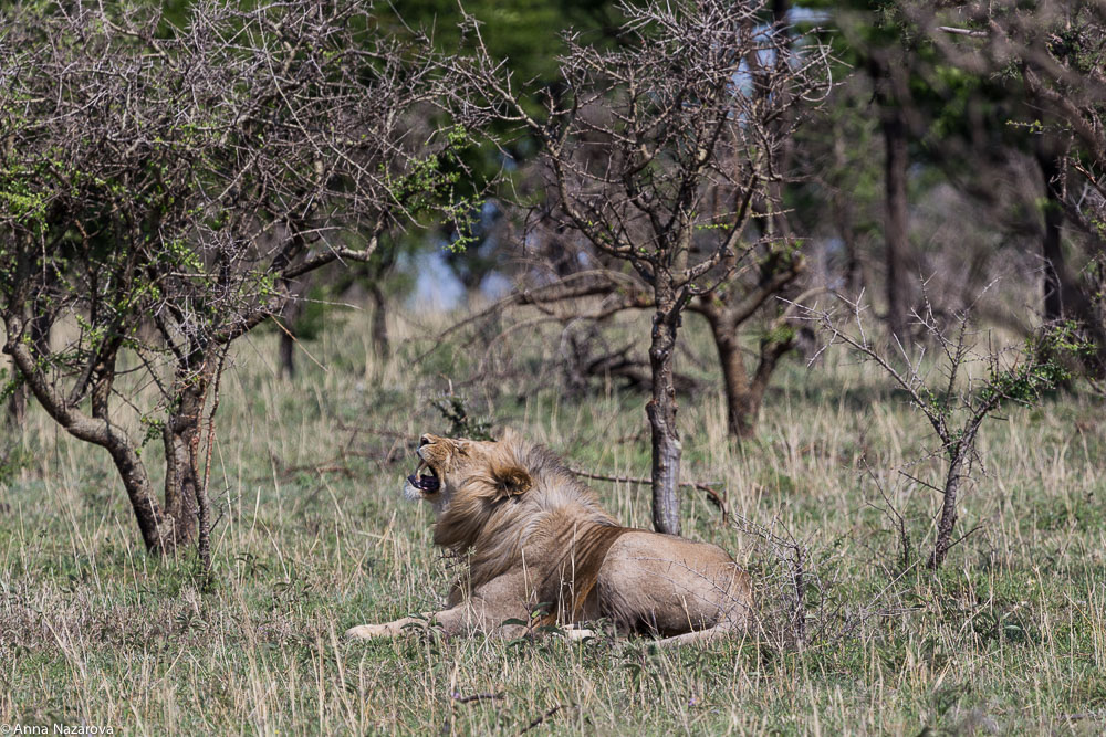 posing lion northern serengeti