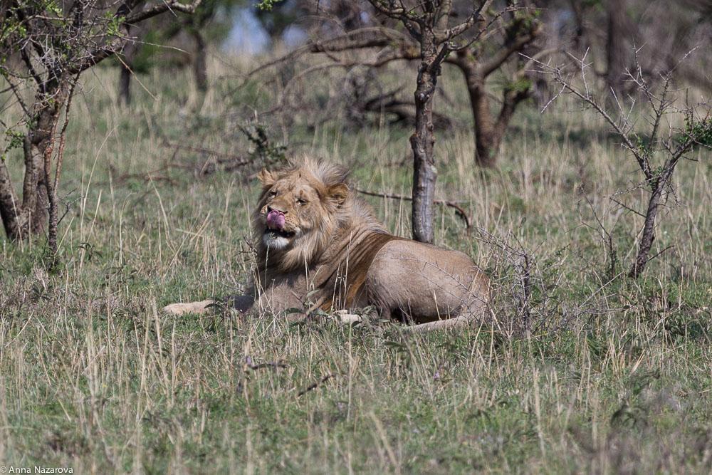 king lion northern serengeti